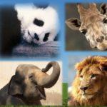 人間、ゾウ、キリン、ライオン、パンダの中で、1日の食費が一番かかるのは?