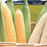 トウモロコシの黄色と白色の粒、どっちが甘い? メロン以上の甘さ!