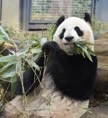 ジャイアントパンダの食費
