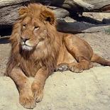 ライオンの食費