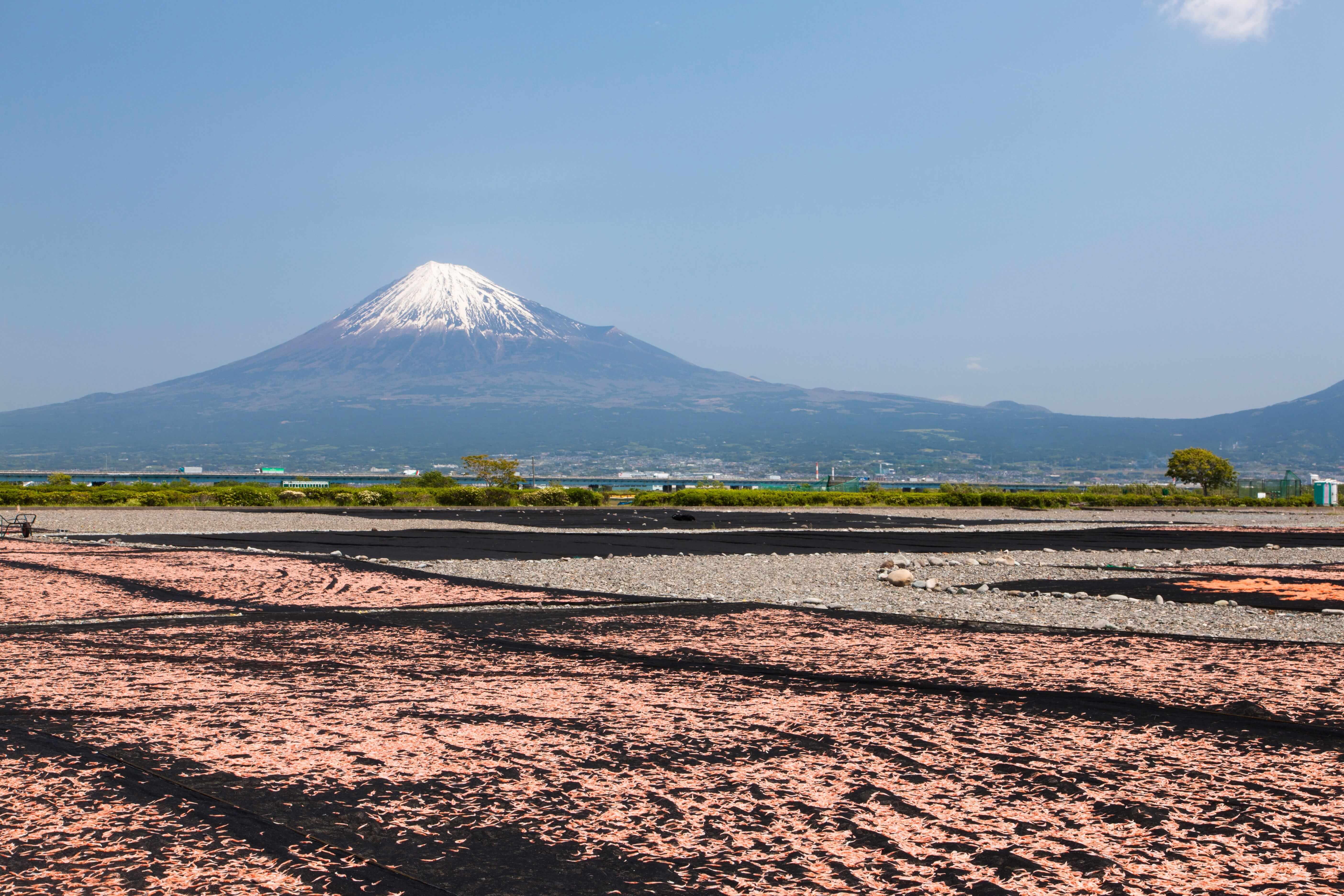 日本で桜エビ漁ができるのは1か所だけ!旬の時期は?