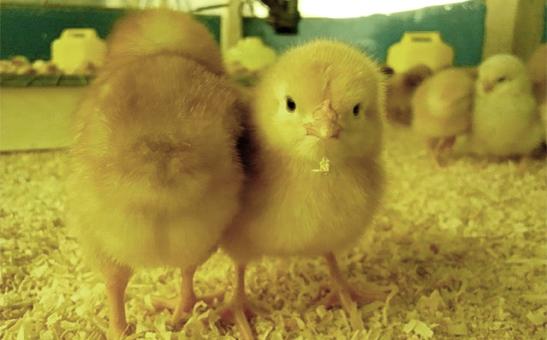 健康な鶏に育てるため、雛に施す「教育」</h2> <p><img src=