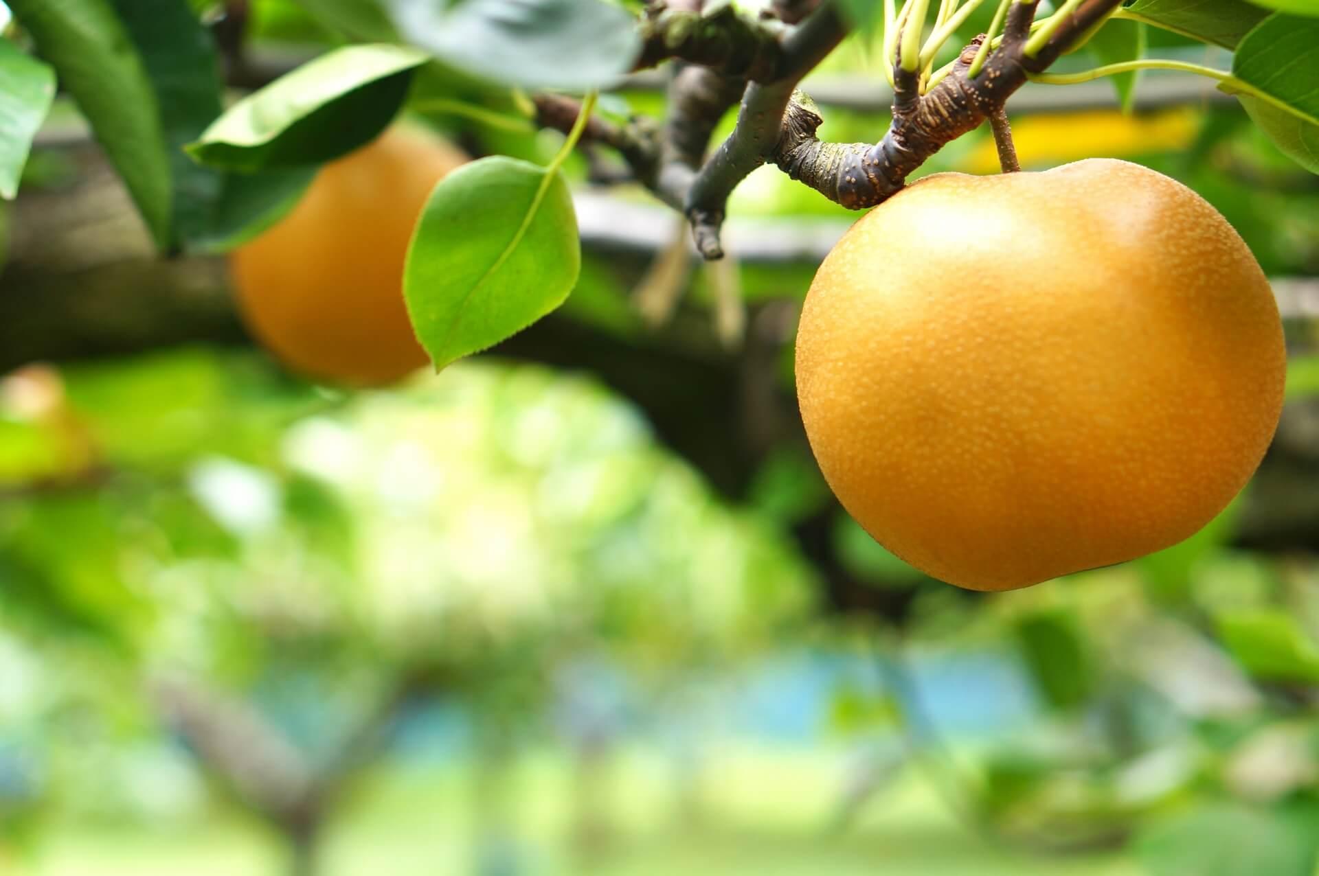 「梨(ナシ)」の旬は夏から!もう始まります!