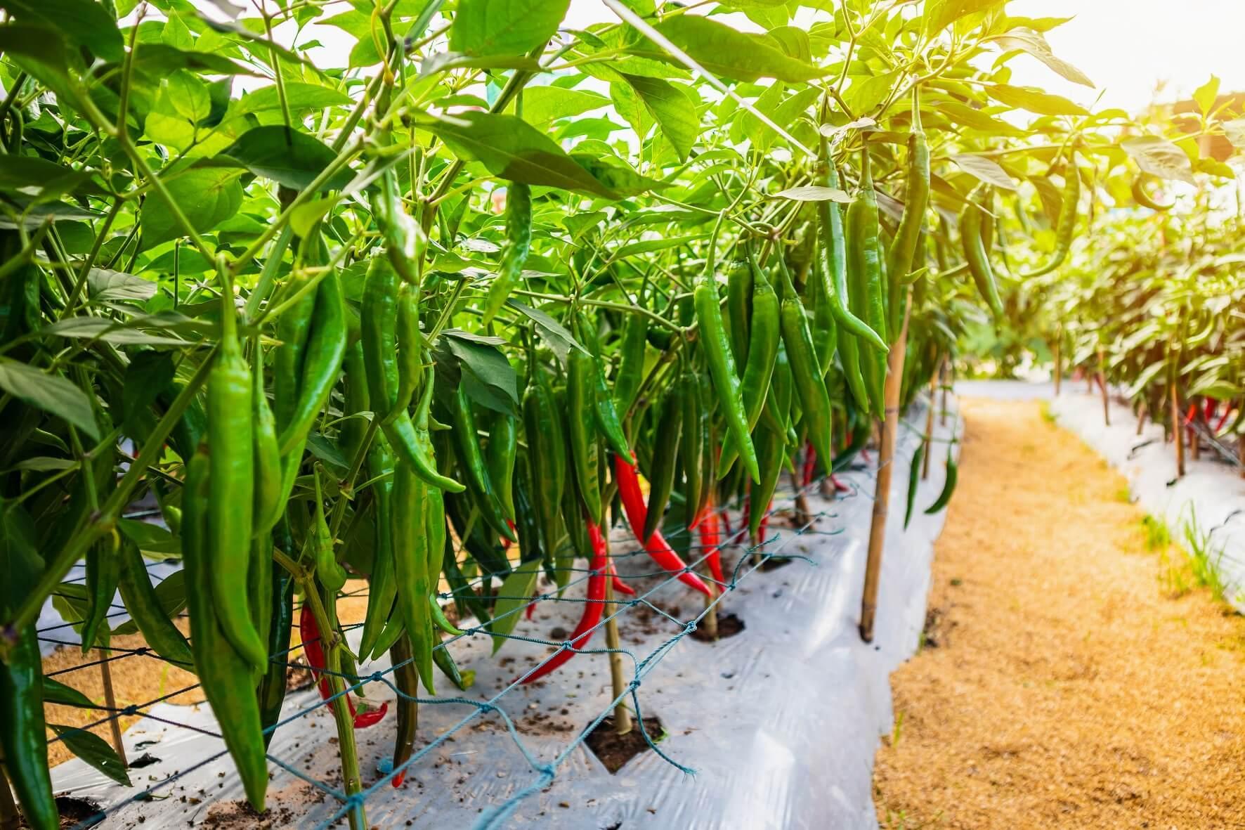 栃木県の名産『日光唐辛子』は辛みが少なく育てやすい万能唐辛子