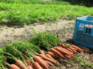 独自の農法「塩農法」で栽培