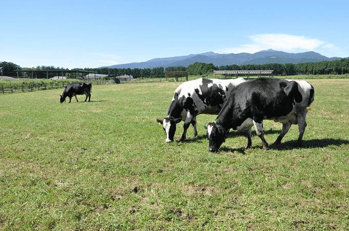 広大な敷地ですごすストレスフリーな乳牛たち